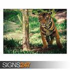 SAVANNA TIGER WILDLIFE (3812) Animal Photo Picture Poster Print A0 A1 A2 A3 A4