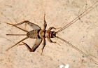 Live Crickets - All Sizes 500 - 10,000 Free Shipping $15.99/500 $23.99/1000