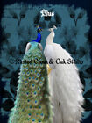 White Peacock Blue Peacock Bird Pair Home Decor Wall Art Matted Picture Usa A732
