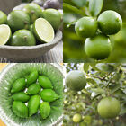 Grafted Lime Citrus Trees 32