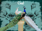 White Peacock Blue Peacock Bird Pair Home Decor Wall Art Matted Picture A032