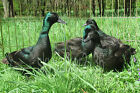 10+ Black East Indie duck Fertile Hatching Eggs. Birds laying now.