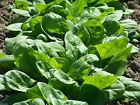 Spinach Seeds - Bloomsdale Long Standing  - Disease Resistance - Slow to bolt !