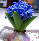50 Pcs Hyacinth seeds Hyacinthus Orientalis Indoor green plants