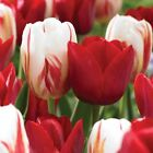 planting tulip bulbs late - Tulip Bulbs, Red and White Blend - Fall Planting/Single /late Blooming Tulips