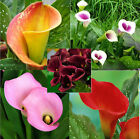 Calla Lily Bulbs, Not Seeds, Home And Garden Plants, 10 RARE Flower Bulbs, Hot