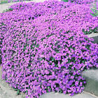 2619 Climbing Plant Garden Living Creeping Thyme Seeds Rock Cress Seeds Rare