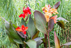 ORGANIC CANNA LILY & GINGER PLANT COMPOST WITH PERLITE, SOIL FOR CANNA LILIES