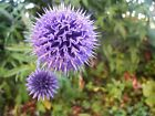 Echinops ritro Seeds - Globe Thistle - Perennial Flower - 50, 100, or 150 seeds