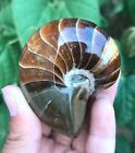 170g Awesome nautilus Fossils Natural ammonite Specimen from Madagascar A717