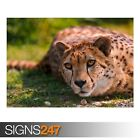 CHEETAH LYING (3393) Animal Poster - Picture Poster Print Art A0 A1 A2 A3 A4