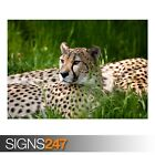 CHEETAH DUAL MONITOR (3536) Animal Poster - Photo Poster Print Art * All Sizes