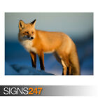 RED FOX WINTER (AE914) - Photo Picture Poster Print Art A0 A1 A2 A3 A4