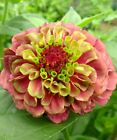 Zinnia Queen Red Lime 15 seeds FREE SHIP