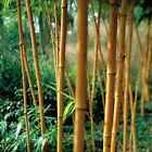 Hedge Screening Yellow large Bamboos. Golden Crookstem Aureo-sulcata bamboos
