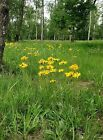 Arnica Montana Seeds, perennial flowers. 25+ to 2g.