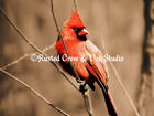 Northern Cardinal Red Bird Signed Handmade Matted Picture Photo Made in USA A204