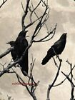 Birds Three Crows against Moon Handmade Original Matted Signed Picture A646