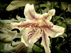 Beautiful Spring Lily Flower Signed Original Handmade Matted Photo Picture A844