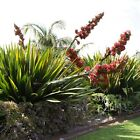 Giant Spear Lily Doryanthes Palmerii x1 young plant Not for NT