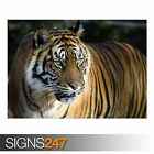 BENGAL TIGER (3805) Animal Photo Picture Poster Print Art A0 A1 A2 A3 A4