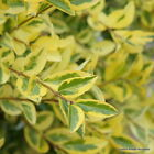 Ligustrum Ovalifolium Aureum Bareroot Golden Privet Hedging 80-100cm