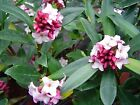 Winter Daphne shrub plants Large bushy Highly scented. RHS AGM plant.