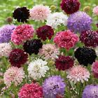 Pincushion Flower Seeds -Tall,Double,Scabiosa Mix, Red, White Blue, Purple, Rose