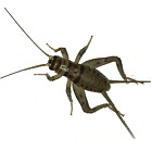 100, 250, 500, 1000+ Live Crickets (Banded) - Starting 100/$14.99 - 500/$16.99