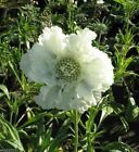 Scabiosa Seeds - WHITE ,Flowers seeds,commonly known as Pincushion Flower.