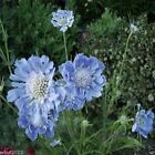 Scabiosa Seeds - Blue,Flowers seeds,commonly known as Pincushion Flower.