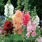 BEST Real Sementes Factory Price Cheap New Home Garden 20Seeds Hollyhock Country