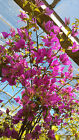 Bougainvillea climbers 5ft in Fushia