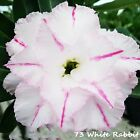 Adenium Obesum Desert Rose Plants New Hybrids Double-flowered Easy Care*