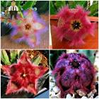 100Pcs Colorful Cactus Bonsai Stapelia Pulchella Seeds Lithops Mix Succulents