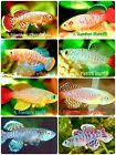 Внешний вид -  60 EGGS NOTHOBRANCHIUS KILLIFISH KILLI EGG HATCHING TROPICAL FISH + FOOD