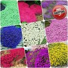 100pcs Creeping Thyme Seeds Multi color Rock Cress Seed Aromatic Ground Cover