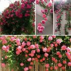100 Pcs Rose Flower Climbing Seeds Perennial Flower Home Garden Plants Decor