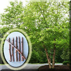 Fresh River Birch Betula Nigra Tree Plant Cutting for Rooting, Grafting