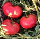 USA HEIRLOOM Organic German Pink Tomato 25 200 seeds 2 pounder