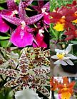 6+ Live Oncidium Orchid Indoor Plants + Free Shipping