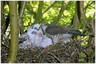Sparrowhawk At Nest - Wildlife Photography By George Mccarthy