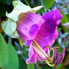 Seeds Cobia Purple White Bell Climbing Beautiful Flower Annual Garden Organic