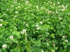 ALFALFA CLOVER CHICORY MIX Deer Food Plot Seed FAST FREE SHIPPING