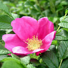 Rosa rugosa 'Common Wild Rose' Bare Root Hedge Green Hedging Tree Plants