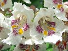 Catalpa, Catalpa speciosa, Northern, Tree Seeds, (Fast Growth, Showy Flowers)