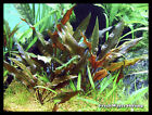 Live Aquarium Plants / All Cryptocorynes / Midground / Background / Easy