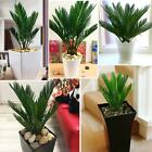 1 King Sago Palm Cycas Revoluta in Pot Indoor Office House Plant Christmas Gift
