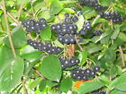 Black Chokeberry Shrub, Aronia melanocarpa, Seeds (Edible, Fall Color, Hardy)