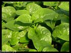 Vegetable seeds malabar spinach,CeylonGreen Vine,Basella alba ( Mong Toi ) 100 s